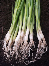 ONION - WHITE BUNCHING - 20 LIVE PLANTS!  must ship immediately! GroCo USA
