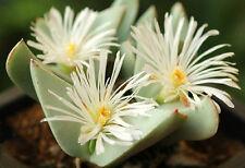 Conophytum Herreanthus Umdaus rare mesemb exotic ice living stones seed 15 Seeds