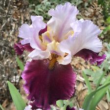 Tall Bearded Tb Iris Brazilian Holiday Plant Rhizome Perennial