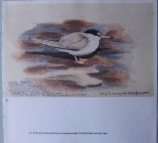Beau Tunnicliffe Oiseau Imprimé~ Petit Sterne