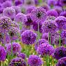 8Pcs Purple Giganteum Giant Allium Flower Black Seeds Garden Planted Decorations