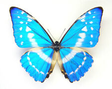Unmounted Butterfly/Morphidae - Morpho cypris cypris, male, 65-69mm, A-