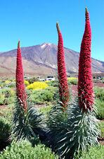 Blickfang: 15 Samen Wildprets Natternkopf (Echium wildpretii) bis 3 m hoher Exot