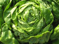 60 Graines de Laitue Buttercrunch Méthode BIO plante salade légumes potager