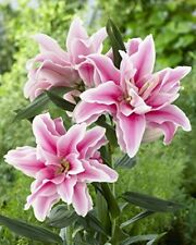 5 Bulbs Double Oriental Rose lily Belonica. End of Season Clearance Price!