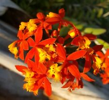 "Epidendrum~ Orchids~ Orange & Yellow Flower Color 5 to 7"" tall 4"" pot Usa Seller"