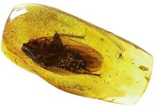 Baltic amber fossil insect inclusion huge cockroach Blattodea (co7)
