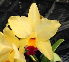 New listing Orchids Laelia Cattleya Lc. Tokyo Magic '6-1' Am/Aos-Flower!