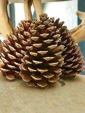 15 California Pine Cones Large Size 5��-6� Wedding Decor Wreaths Crafts Free Del