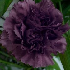 POPPY Double Black 100+seeds Papaver paeoniflorum   Flowers