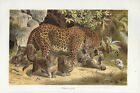 Panther Farb-Lithographie 1890 - Altes Bild Druck Print Zoologie Tiere Wildtiere