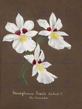 PAINTING BOOK PAGE ORCHID COLLECTION ODONTOGLOSSUM ROEZLII ART PRINT HP1592