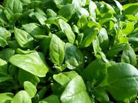 New Zealand Spinach Seeds, Bulk, NON-GMO, Heirloom, Variety Sizes, FREE SHIPPING
