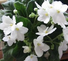 WHITE AFRICAN VIOLET beautiful flowers indoor plant in 110mm pot