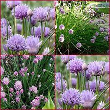 20 Chives Herb Cottage Garden Flower Allium Schoenoprasum Herbal Plants Edible