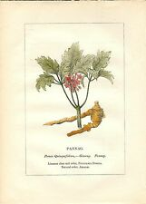 Stampa antica PIANTE DELLA BIBBIA GINSENG Panax ginseng 1842 Old antique print