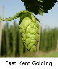 "1x HOPS 4"" pot * EAST KENT GOLDING * Home brew perennial plant hop bine vine"