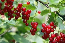 Red WAX CURRANT, Waxy Currant, Squaw Currant 40 seeds