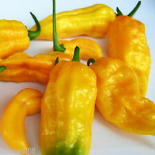 ★☆★DORSET NAGA★☆★MORICH ORANGE 15 SEMI PURI SUPER HOT PEPPER + GUIDA★☆★