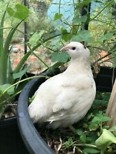 7+ Jumbo Recessive White Coturnix Quail Eggs **QUICK FREE SHIPPING**