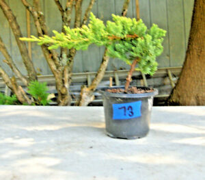 """Juniper Bonsai 73 - Prebonsai, 4"""" Pot, Inf Upr, VG Canopy & Trunk!"""