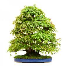 101 Graines d'Érable de Bürger , Acer Buergerianum , Trident maple tree seeds