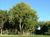 Sibirische Ulme - Ulmus pumila - Siberian elm - 200+ Samen - Saatgut - Seeds