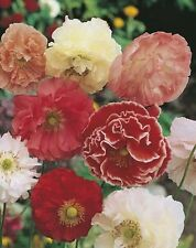 Flower seed - Poppy Shirley Double Mixed