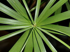 50 UMBRELLA PALM TREE Cyperus Involucratus Papayrus Sedge Seeds +Gift & Comb S/H