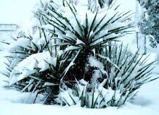Keulen -Lilie blühende Pflanzen Palmen für den Blumentopf Garten winterhart Deko