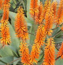 OUTBACK ORANGE ALOE sculptural succulent bright flowers LARGE plant in 2L pot