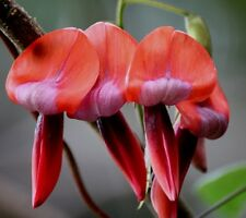 Kennedia rubicunda Dusty Rose Pea vine 10 seeds Free Shipping