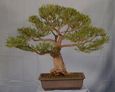 BANKSIA ERICIFOLIA.-  BONSAI TREE STARTER - Fast-pine like needles