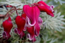 Dicentra Spectabilis Seeds - KING OF HEARTS - Shade Perennial - 40 Seeds