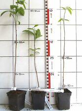Asimina triloba   /   Indianerbanane, Papau,  im Topf angezogene Pflanze