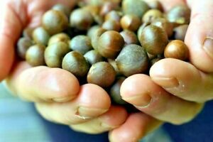 Tea seeds 'Camellia sinensis' x 10 - FREE UK DELIVERY - 2021 new seasons stock