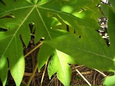 Papaya Leaf 20 Whole Fresh Organic Pure Papaya Leaves-Organic Leaves Herbs
