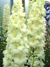 50 Yellow White Delphinium Mix Seeds Perennial Flowers Flower Seed 564 Us Seller