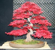 Rare 'Shin deshojo' Japanese Maple Tree Seeds. Acer palmatum. Great for Bonsai.