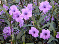 6 unrooted cuttings of Mexican Petunia Ruellia Brittoniana Purple Flower