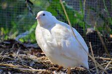 12 Assorted Coturnix Quail Hatching Eggs