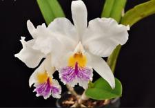 Cattleya mossiae var. reineckiana orchid species plant