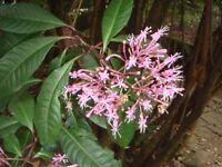 Fuchsia Arborescens ~ Tree Fuchsia ~ Lilac Fuchsia Flowers ~ Very Rare 3 Seeds ~
