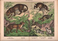 1886 Belle lithographie originale jaguar chats lynx félins animaux gravure