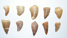 Mosasaur Dinosaur Tooth  LOT OF 10 Pieces Fossils Teeth 85 Mill Yr Old #546 5o