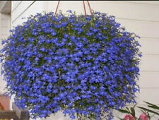 Lobelia True Blue Cascade 200 Seeds Beautiful Ground Cover Rock Garden