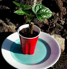 """Bele Abelmoschus Manihot Edible Hibiscus Tonga Spinach Tree 8-12"""" FROM HAWAII"""