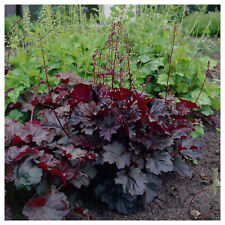 50+ HEUCHERA PURPLE PALACE CORAL BELLS, EVERGREEN SHADE PERENNIAL FLOWER SEEDS