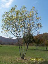 "2 River Birch Tree(Betula Nigra) 4"" containers single stem"