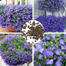 Lobelien  Männertreu - intensiv Blau 100 Samen Großpackung